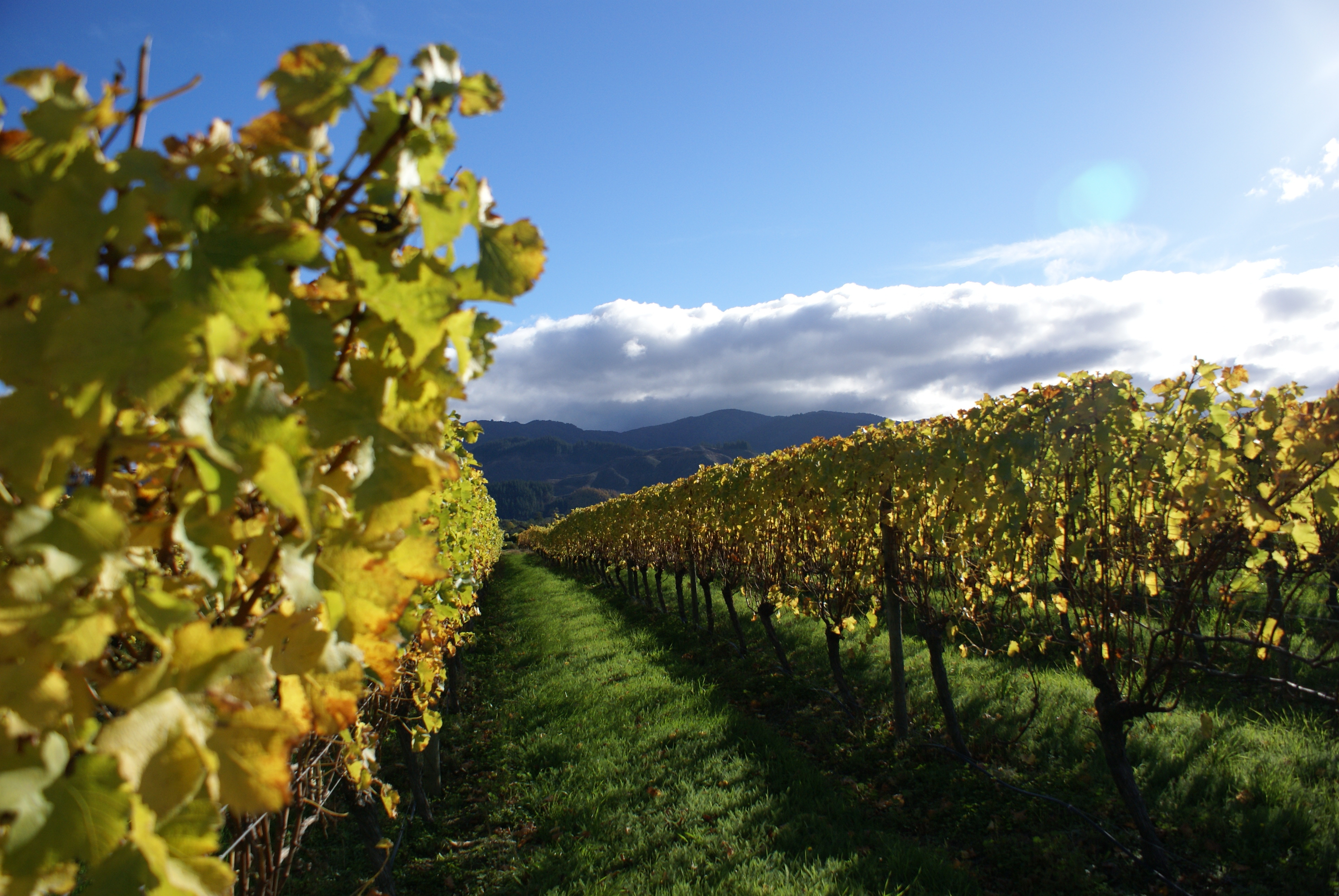 Weinreben, Marlborough, Neuseeland